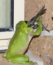 Frog eating bird - photo#15